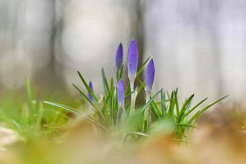 Frühlingsbote, Krokusse im Gras von Ad Jekel