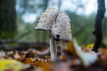 Twee inktzwammen in het bos van Linda Schouw