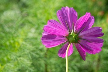 Cosmea, roze bloem van
