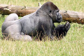 Gorilla-ontbijt van