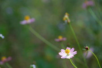 Fleurs roses des champs sur Affect Fotografie