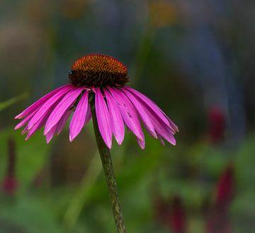 Echinacea von Ingrid Ronde