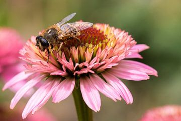 Rosa Sonnenhut mit Biene von Carla Schenk