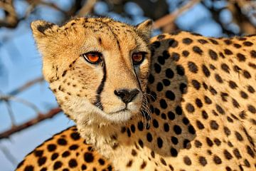 Der Gepard, wildlife im Etosha Nationalpark Namibia
