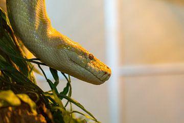 Python im Terrarium von Yannick uit den Boogaard