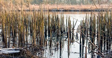 Afgebroken rietstengels in het water van Ruud Morijn