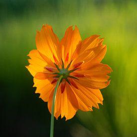 Cosmea sunrise, oranje bloem. van Ellis Peeters