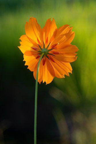 Cosmea sunrise, oranje bloem.