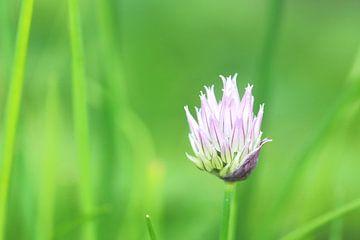Schnittlauch Blume von H. van Dodeweerd