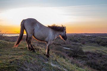 Konikpaard tijdens de zonsopkomst van Marcel Klootwijk