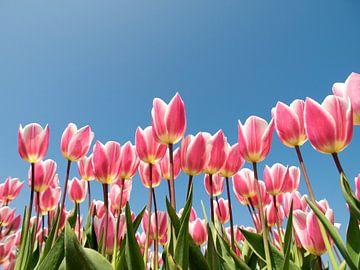Roze tulpen tegen blauwe lucht van Fotografie Egmond