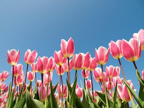 Roze tulpen tegen blauwe lucht