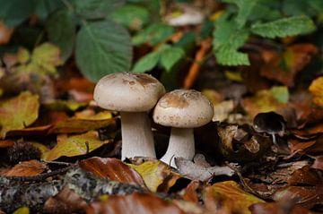 Paddestoelen in het bos von DoDiLa Foto's