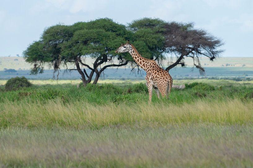 Massai Giraffe von Alexander Schulz