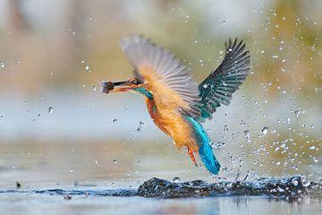 IJsvogel - hebbus
