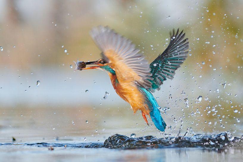 IJsvogel - hebbus van IJsvogels.nl - Corné van Oosterhout