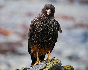 Falkland Caracara op een steen von Remco van Kampen