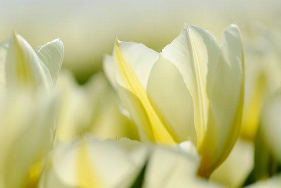 Witte tulpen dichtbij van Martin Stevens