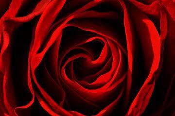 red rose sur Violetta Honkisz
