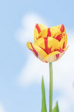 Gele tulp met rode strepen sur Gea Veenstra