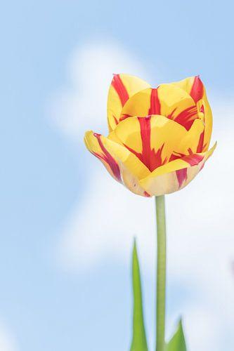 Gele tulp met rode strepen