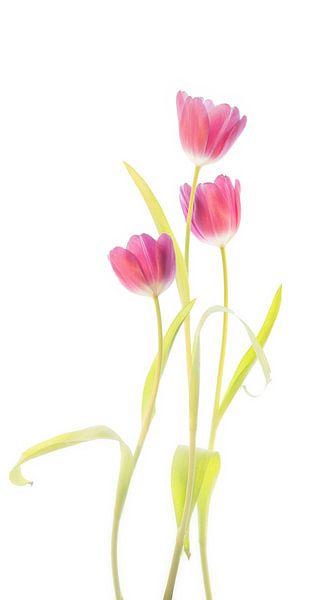 Tulpen van Fionna Bottema