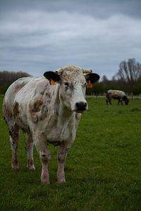 koe in de wei van Hartsema fotografie