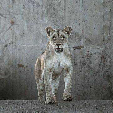 Stoere leeuw van Sharing Wildlife