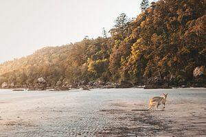 Wallaby op het strand in Australië