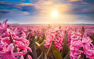Hyacinten op de bollenvelden in de lente van