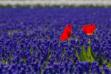 Nederlands bollenveld in rood-wit-blauw von Mayra Pama-Luiten