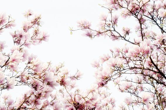 Roze bloemen van de Magnolia, lentebloesem