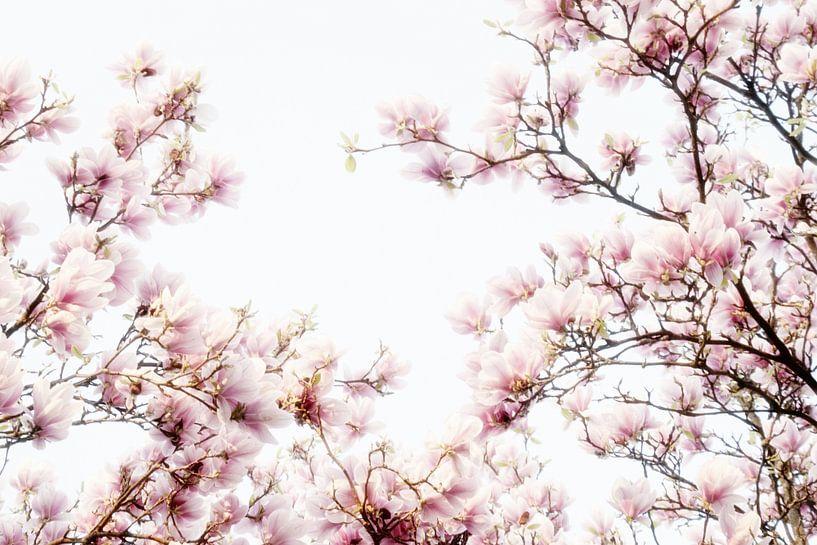 Roze bloemen van de Magnolia, lentebloesem van Jessica Berendsen