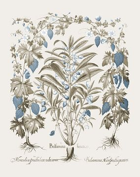 Basilius Besler-Balsamina Foemia