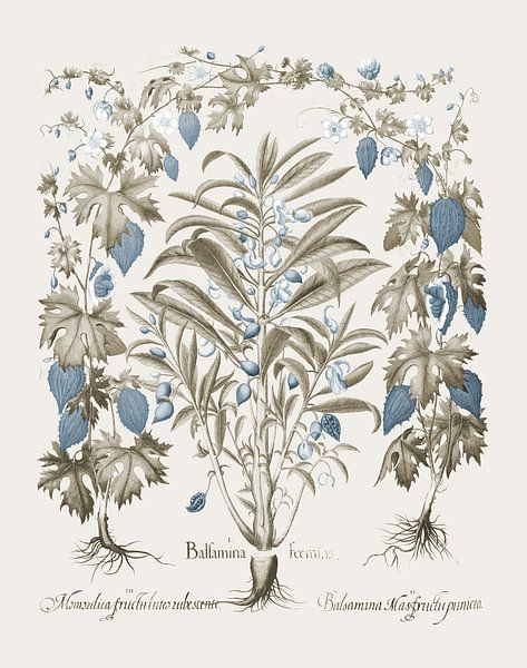 Basilius Besler-Balsamina Foemia von finemasterpiece