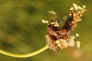 Een net vervelde sprinkhaan