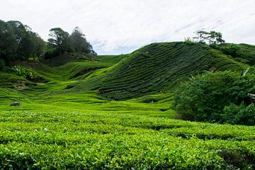 Thee plantages in Maleisië van