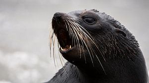 NZ Fur Seal pup - Kaikoura, Nieuw-Zeeland
