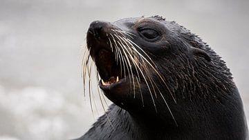 NZ Fur Seal pup - Kaikoura, Nieuw-Zeeland van Martijn Smeets
