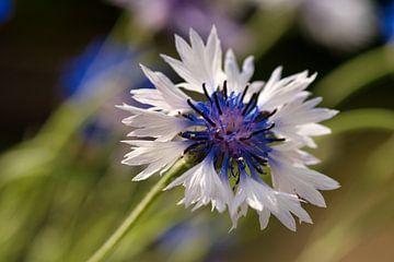 Weiß mit blauer Kornblume von J..M de Jong-Jansen