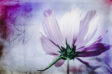 Violette Kosmee von Annette Hanl