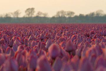 Veld Tulpen von Ronald Bruijniks