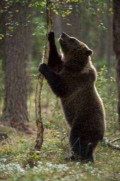 European Brown Bear ( Ursus arctos ), young animal, exploring its surrounding van