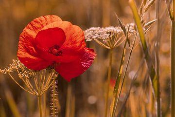 Mohnblume im Weizenfeld von