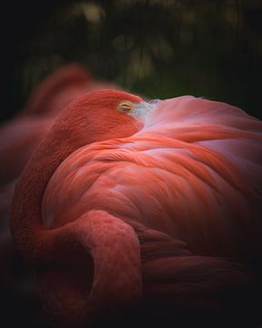 Sleeping flamingo van Sandra H6 Fotografie
