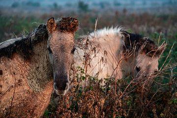 Konik-Pferde von Evi Willemsen