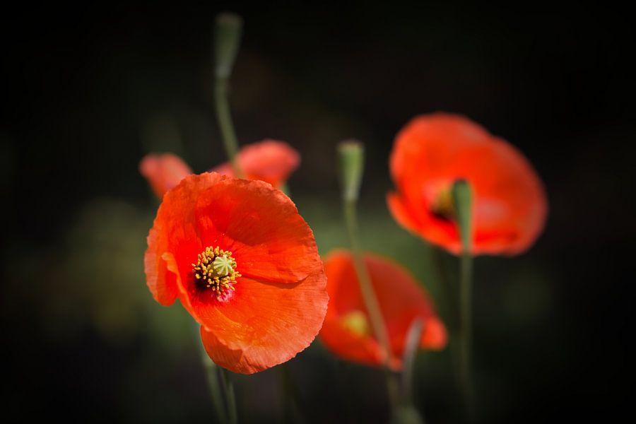 Klaprozen genieten van de zon ... (klaproos, bloem, tuin, rood)