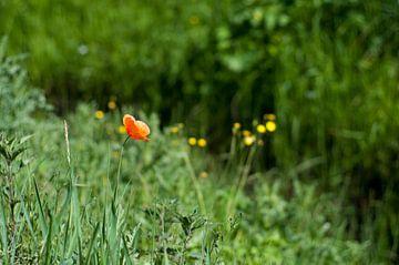 Klaproos in het gras von Anita van Hengel