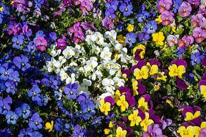 Kleurenpracht van de frisse viooltjes in het voorjaar van Jani Moerlands