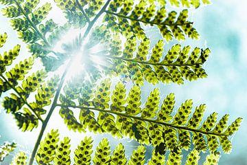 Sonnenlicht scheint durch das Blatt eines Farns von Ron Poot
